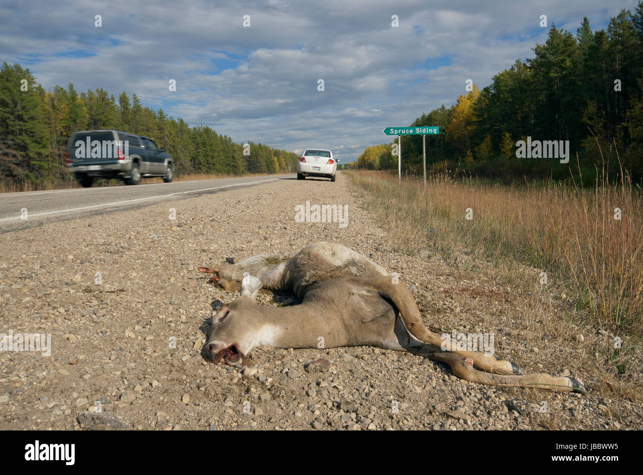 White tail deer (Odocoileus virginianus) killed on the road, Manitoba, Canada - Stock Image