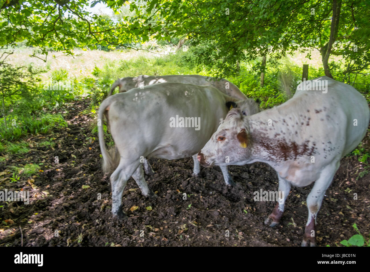 Cattle in field - Stock Image