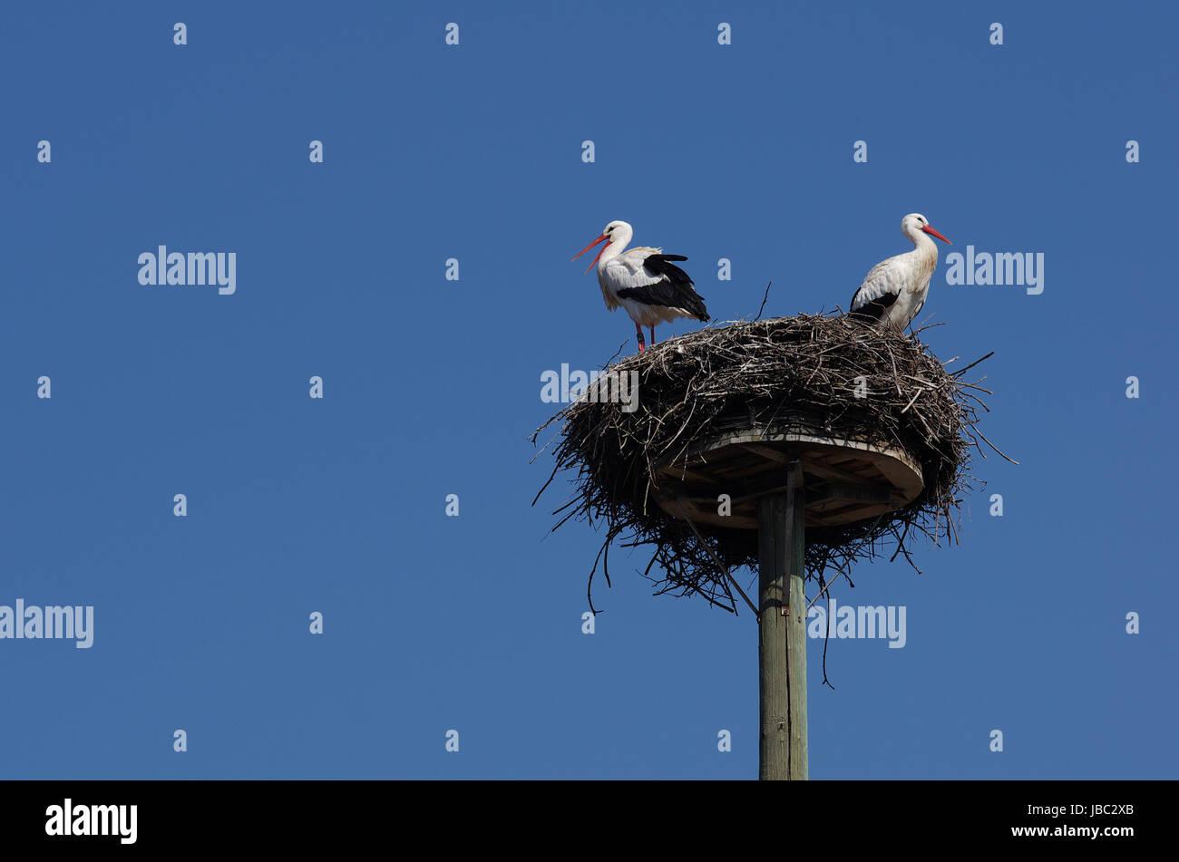 """Weißstorchpaar in ihrem """"Horst"""" Stock Photo"""