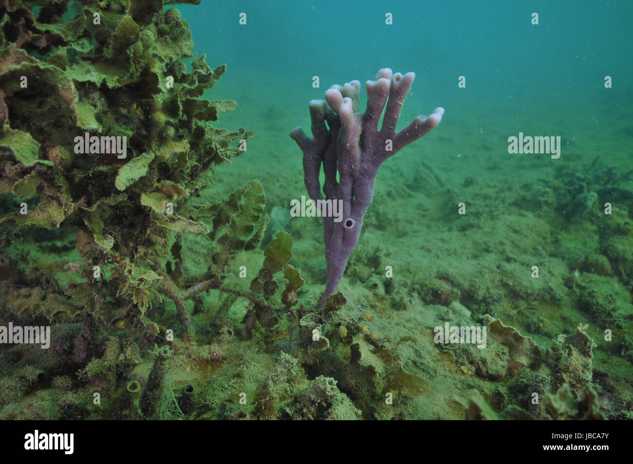 Bright purple finger sponge next to bush of brown sea weed on flat bottom where everything is covered with layer - Stock Image
