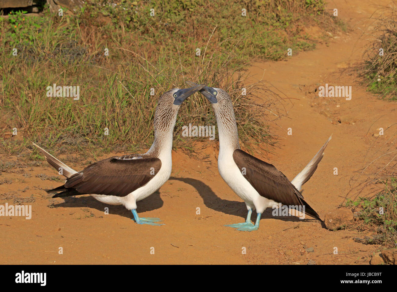 Pair of Blue-footed Boobies bill tapping in the Galapagos - Stock Image