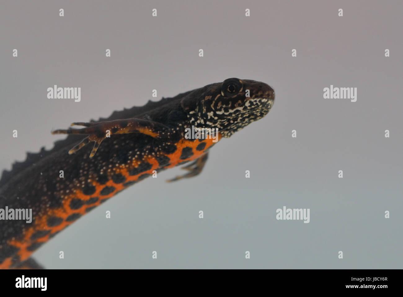 Danube crested newt (Triturus dobrogicus) - Stock Image