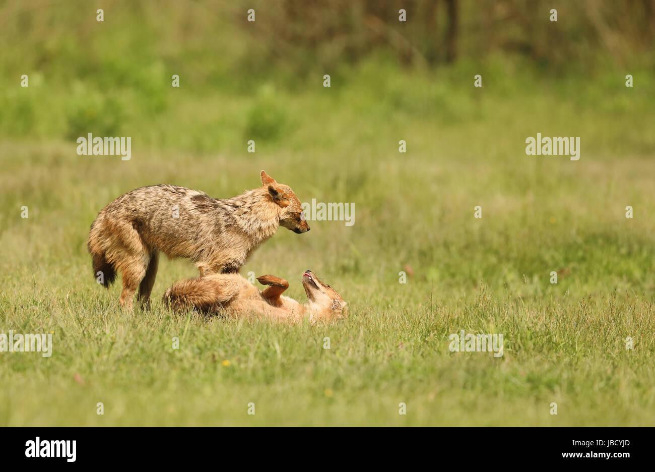 Golden Jackal or European Jackal (Canis aureus) interaction - Stock Image