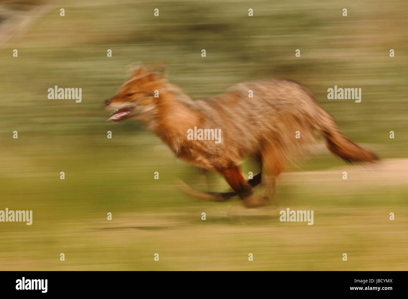 Golden Jackal or European Jackal (Canis aureus) artistic motion blur - Stock Image