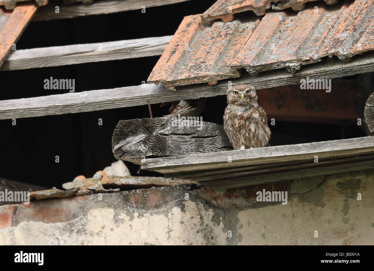Little owl (Athene noctua) on it's lookout spot in a derelict building. Periprava, Romania Stock Photo