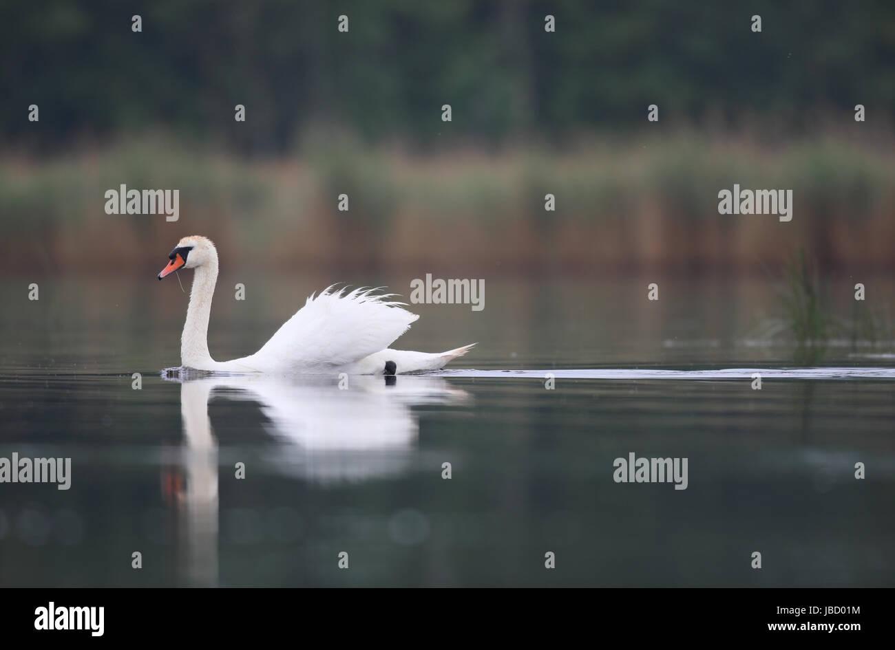 Mute swan (Cygnus olor) swimming on lake - Stock Image