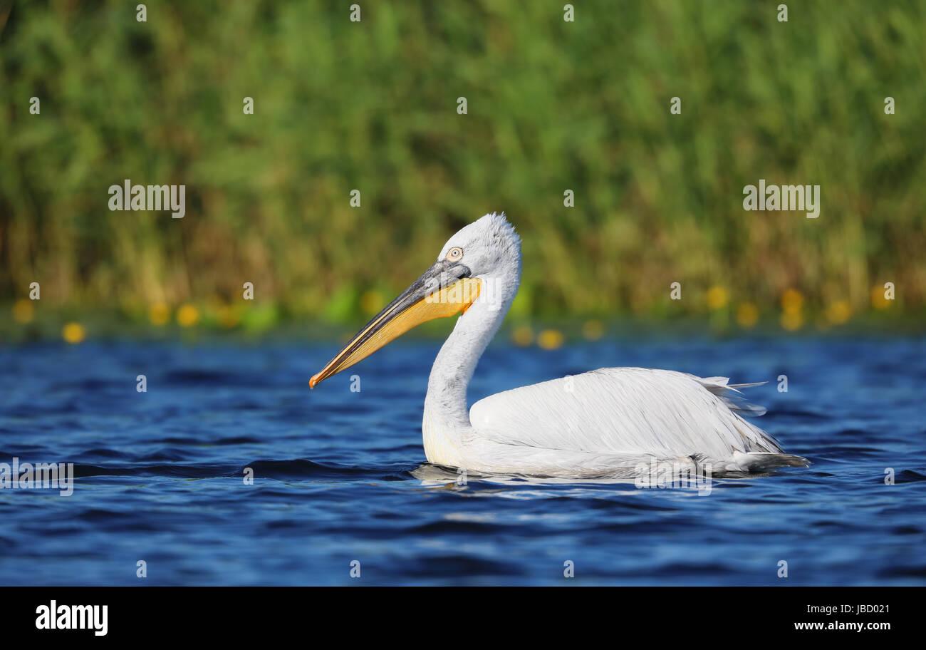 Dalmatian pelican (Pelecanus crispus) in the Danube River Delta in Romania - Stock Image
