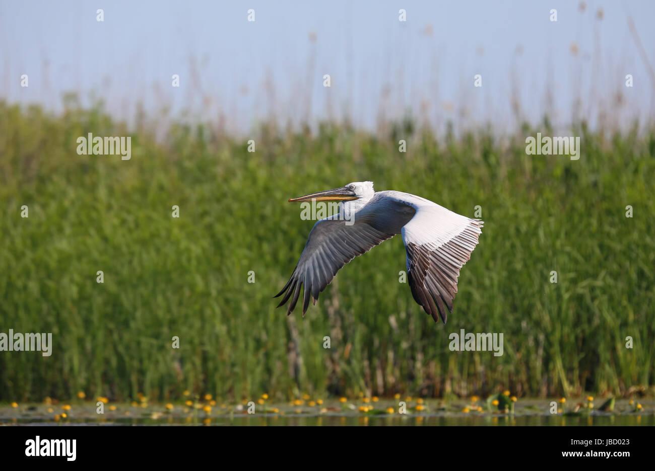 Dalmatian pelican (Pelecanus crispus) in flight over the Danube River Delta in Romania - Stock Image