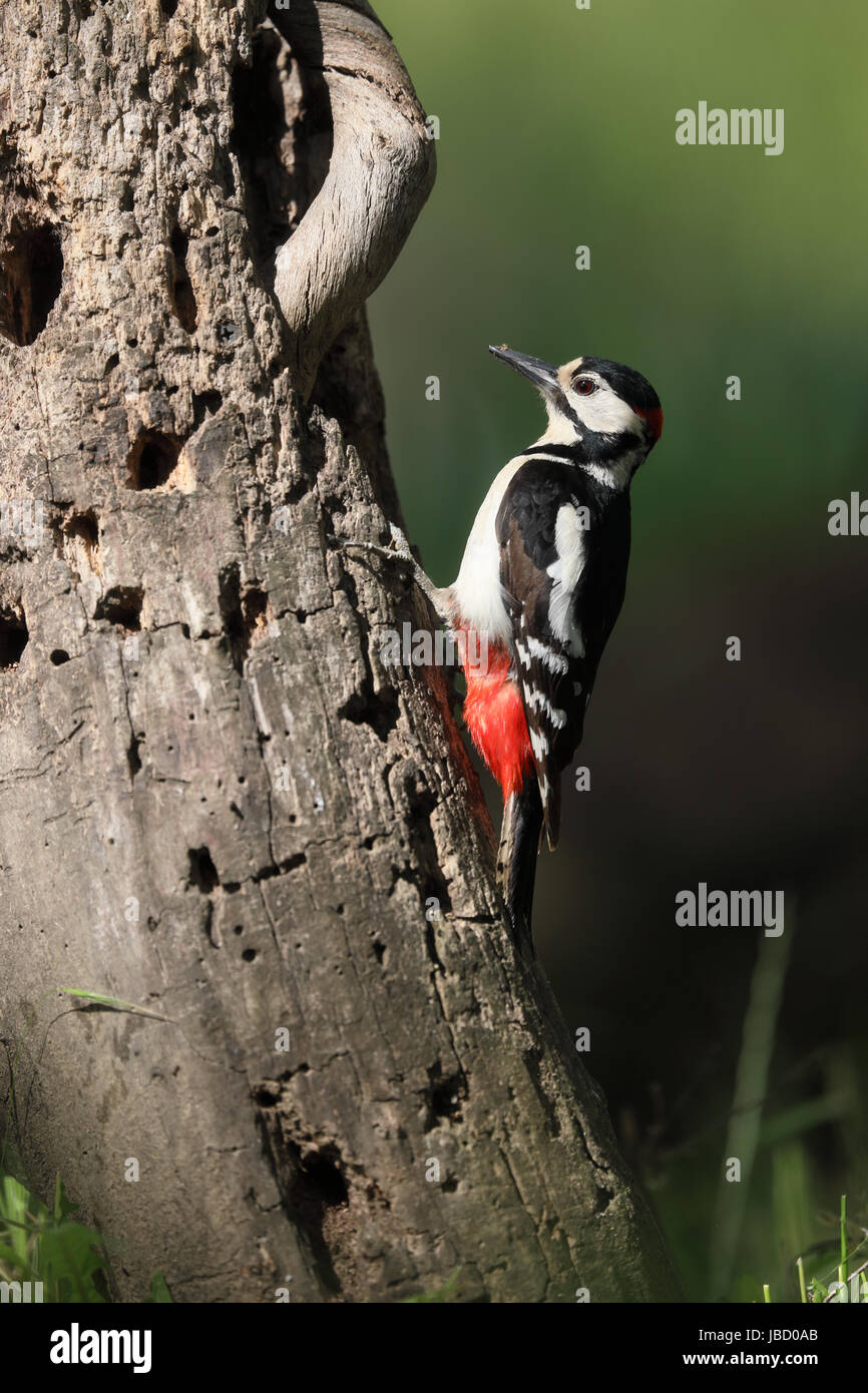 Great Spotted Woodpecker (Dendrocopos major) - Stock Image
