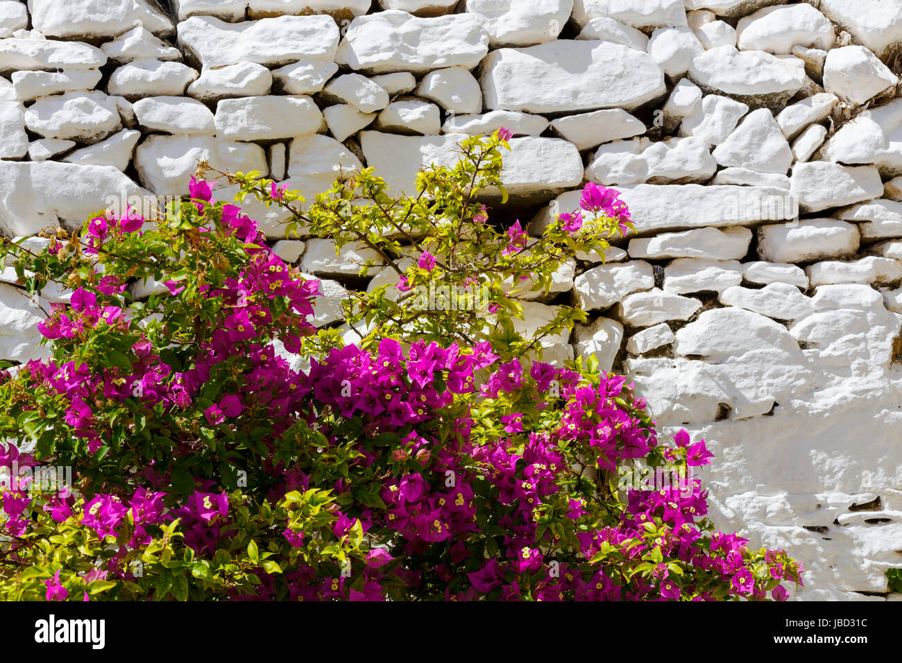 Flowers and a whitewashed dry stone wall in Ano Syros village on Syros island. - Stock Image