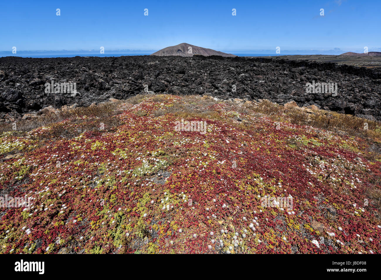 Flowery vegetation in the unique lava landscape of Timanfaya National Part. Lanzarote, Spain - Stock Image