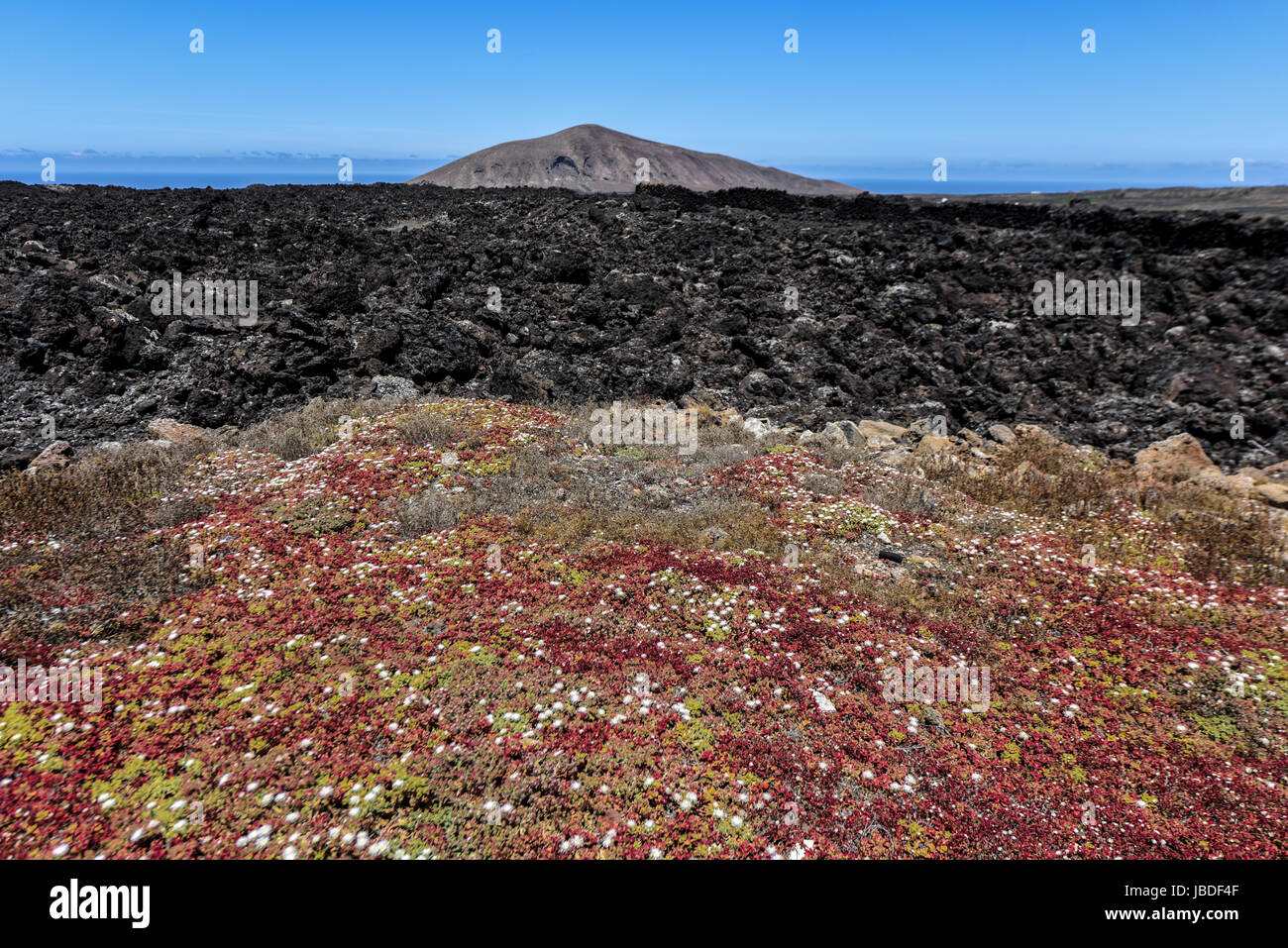 Contrast of flowers and lava in the volcanic landscape of the Timanfaya National Park.Lanzarote, Spain - Stock Image
