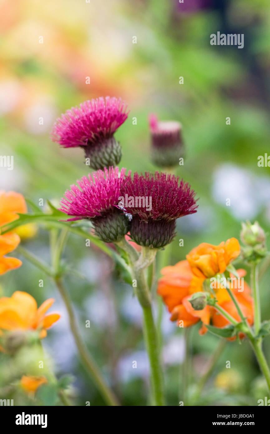 Cirsium rivulare 'Atropurpureum' flowers in a Spring garden. - Stock Image
