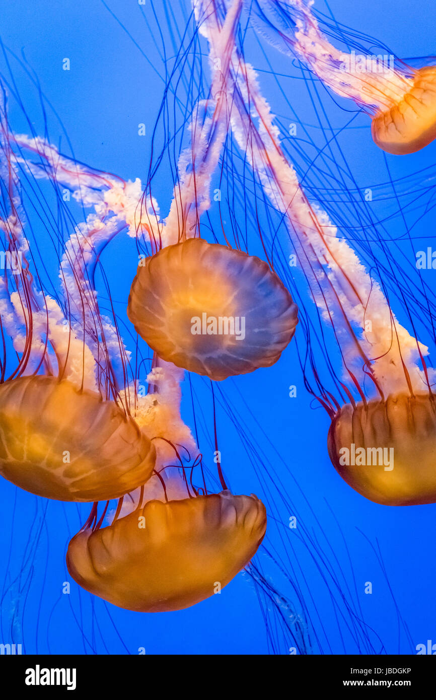 Jelly Fish swimming in ocean - Stock Image