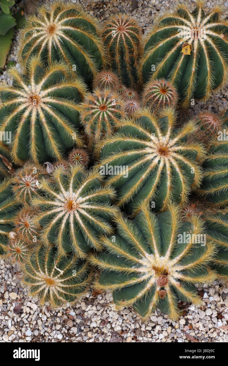 Seven large feathery-needled cacti surrounded by numerous small 'baby' cacti in hothouse setting in the - Stock Image