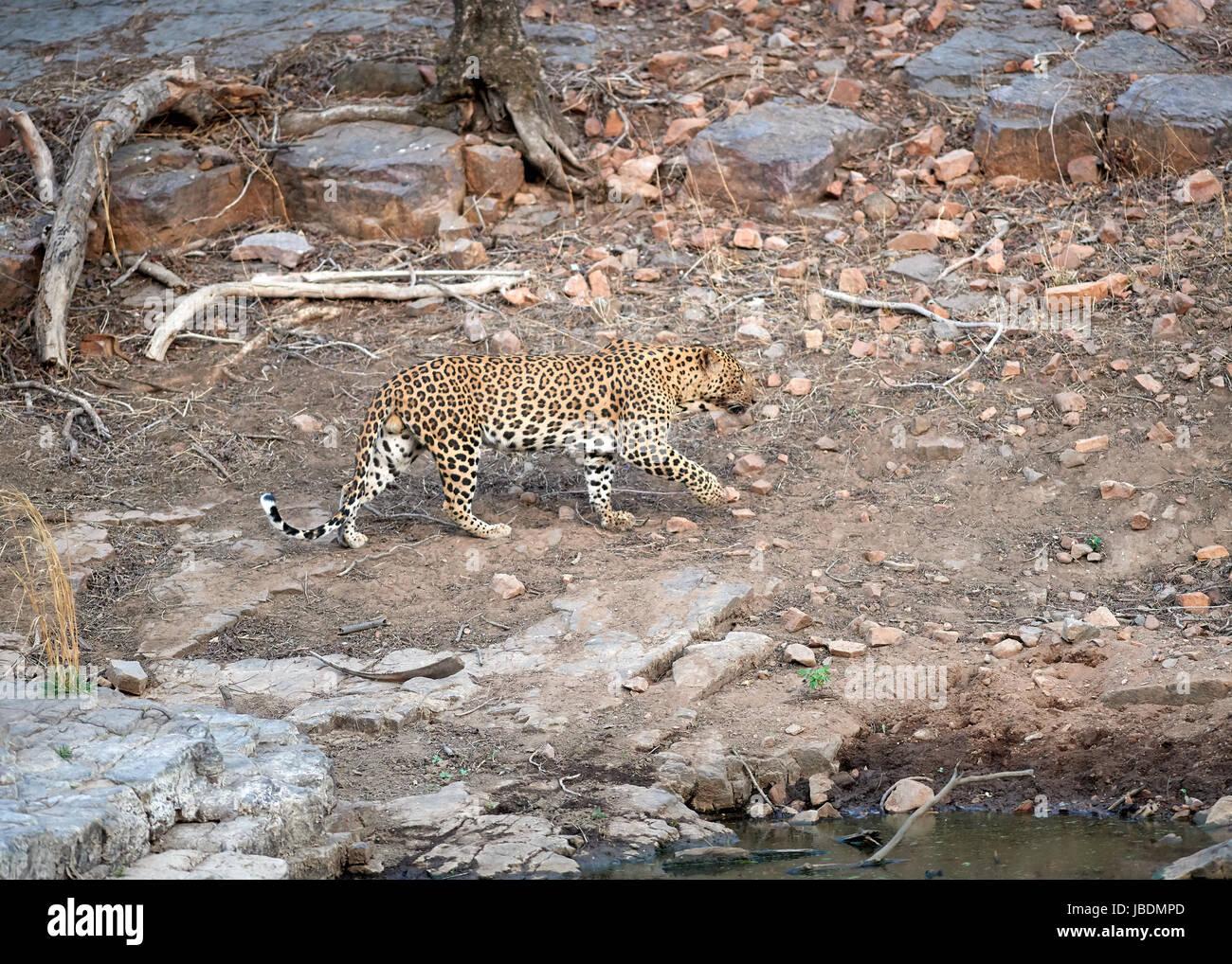 A male leopard walking away from its kill of a Sambar deer - Stock Image