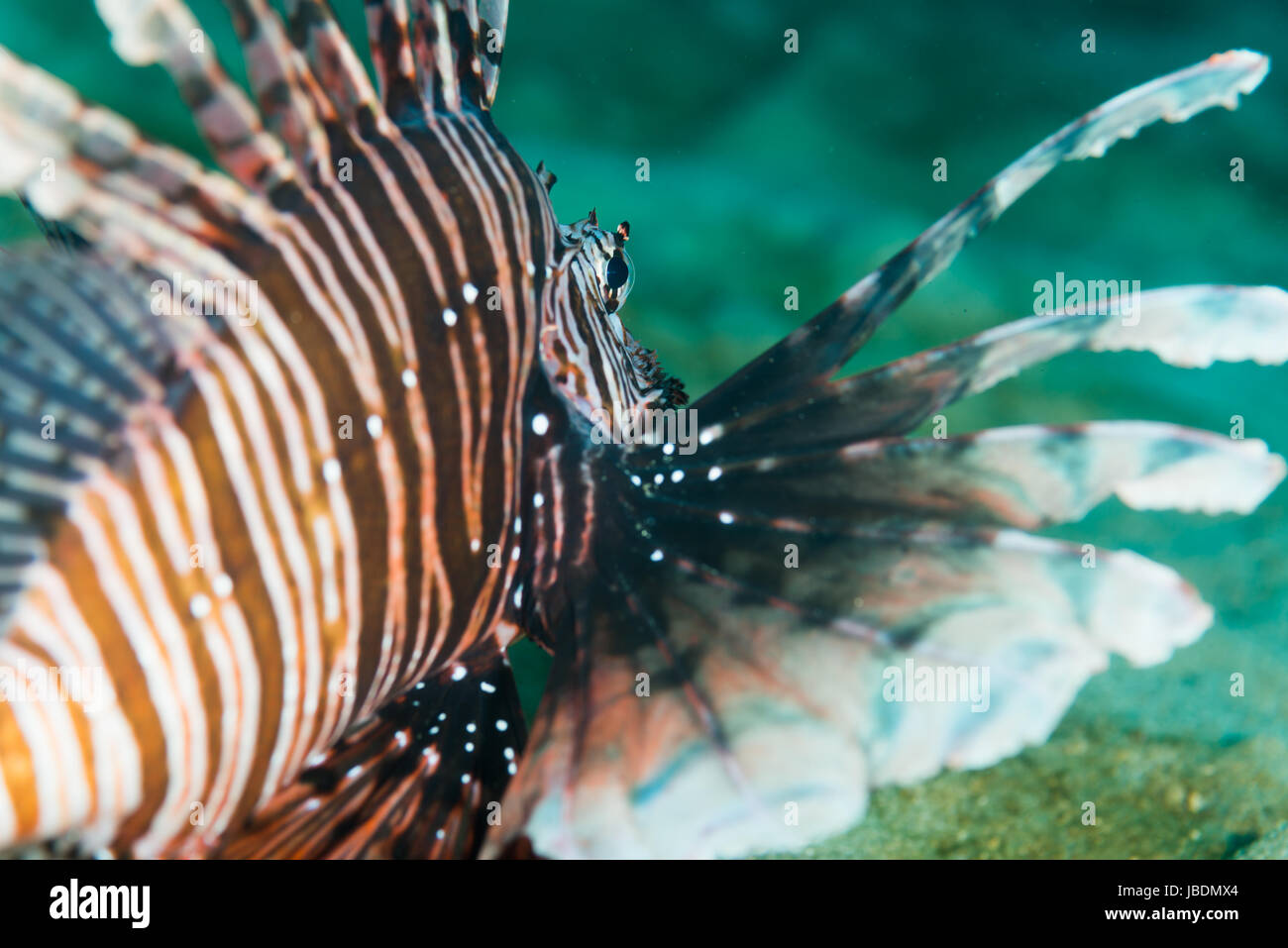 a scorpion fish rest on the sandy bottom  Death of water 12m at Owase, Mie, Japan - Stock Image