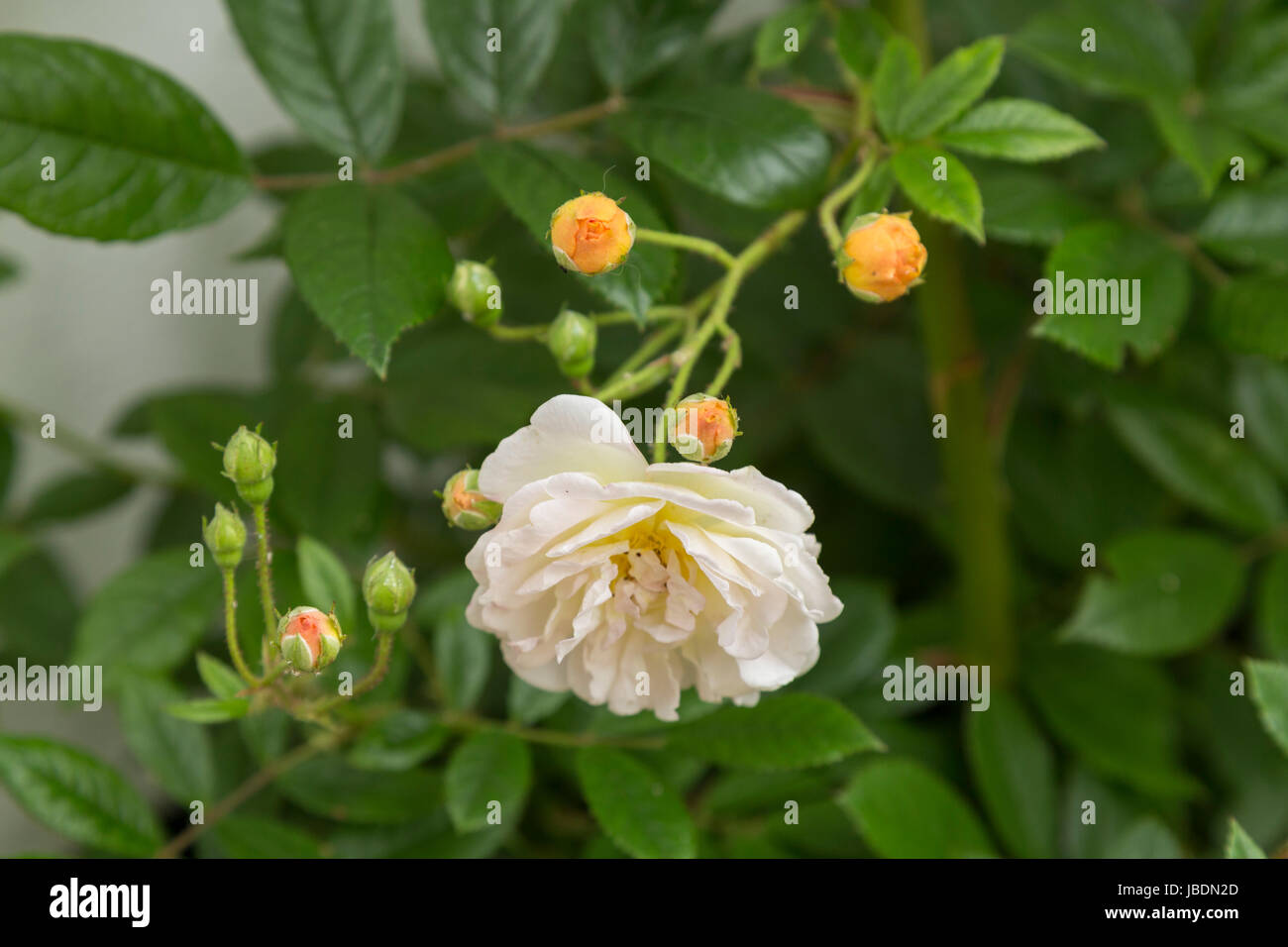 Rosa 'Ghislaine de Feligonde', a Musk Rambling Rose. Fragrant semi double white /apricot blooms. In bud - Stock Image