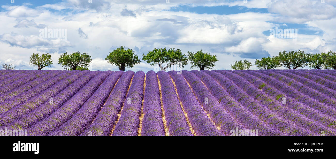 Horizontal view of lavender field, France, Europe Stock Photo