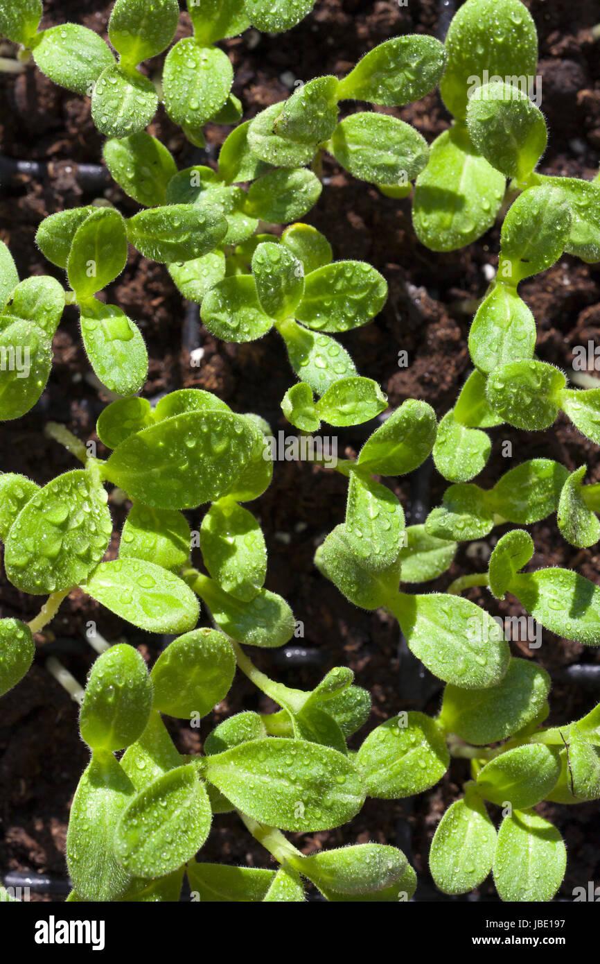 Setzlinge der Borretsch Kräuterpflanze mit Wassertopfen - Stock Image