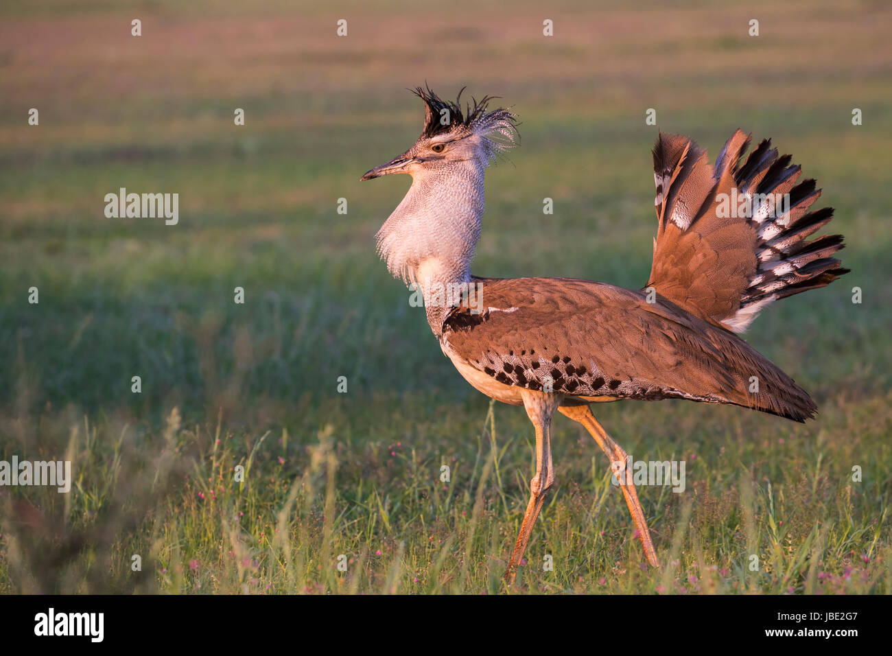 Kori bustard (Ardeotis kori) male courtship display, Kgalagadi Transfrontier Park, Northern Cape, South Africa, Stock Photo