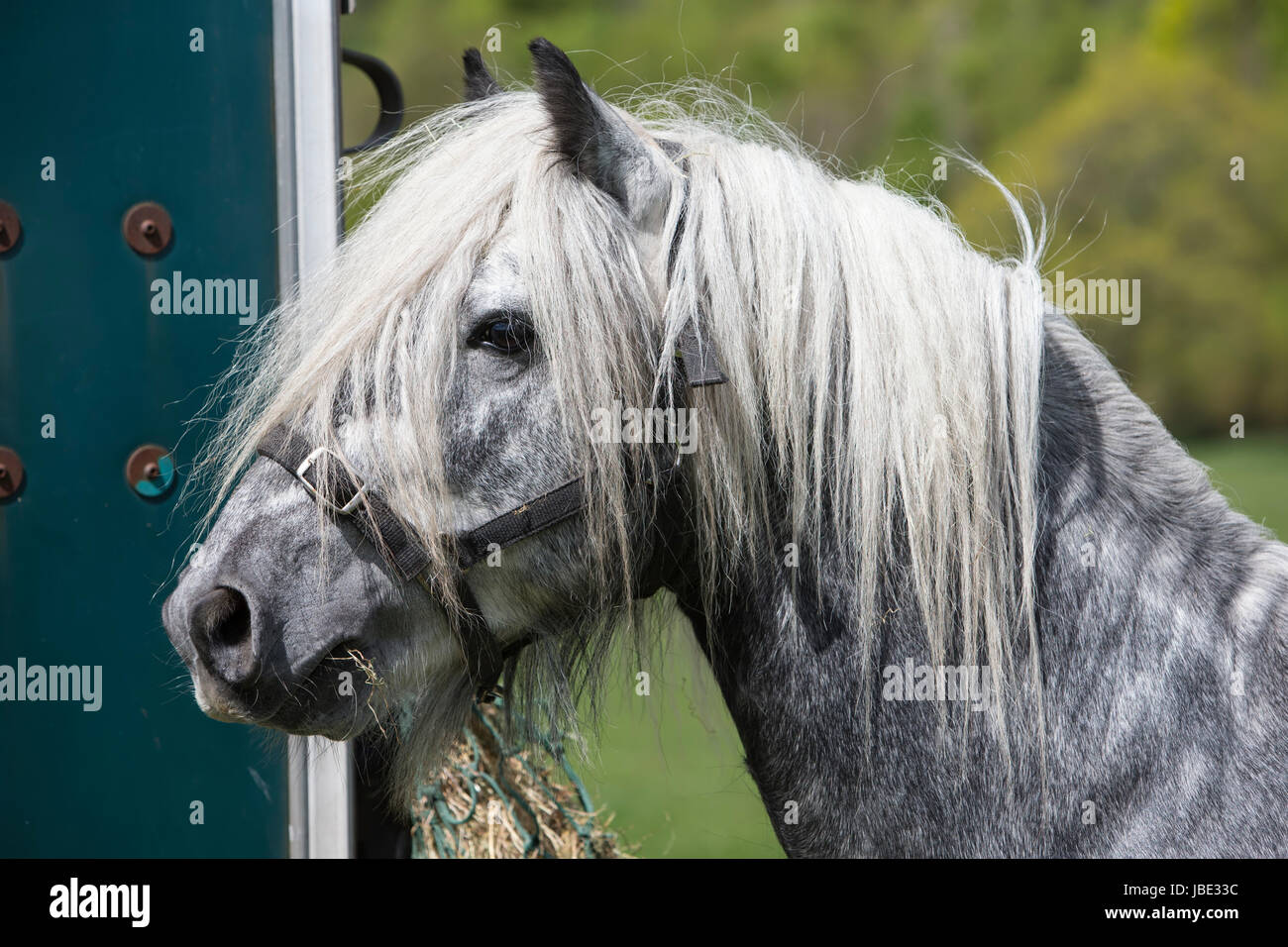 Fell pony at stallion and colt show, Dalemain, Penrith, Cumbria, May 2016 - Stock Image