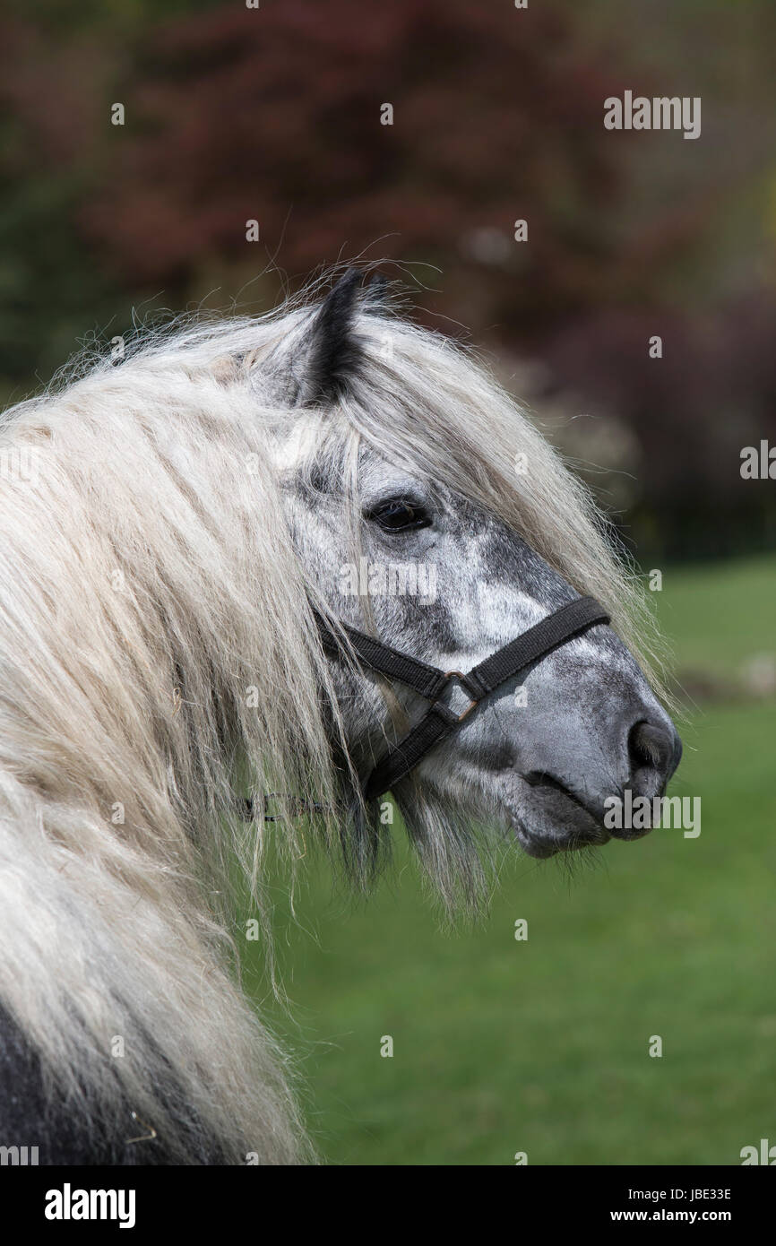 Fell pony, Dalemain, Penrith, Cumbria, May 2016 - Stock Image