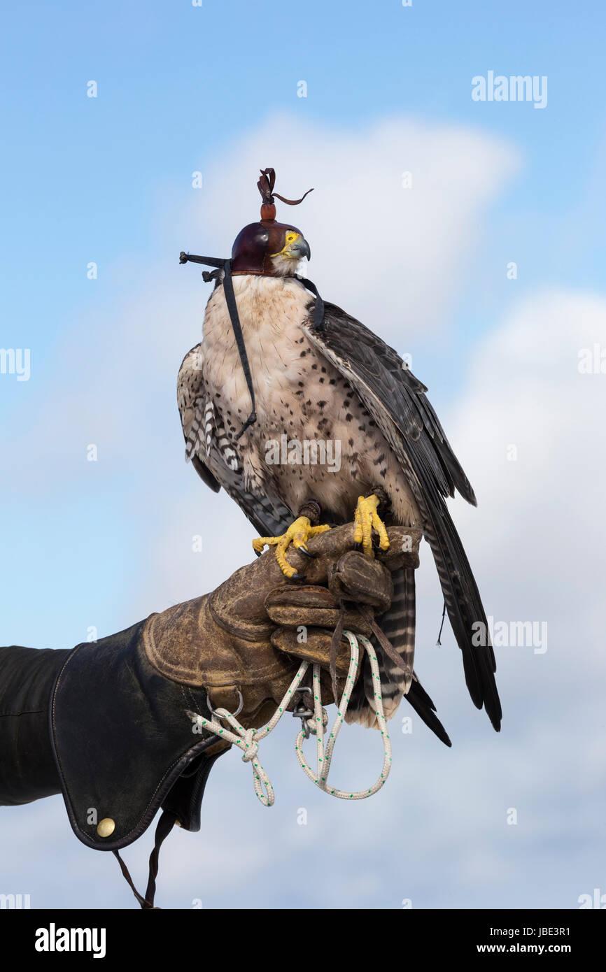 Lanner falcon (Falco biarmicus) on the glove, wearing hood, captive falconry bird, Cumbria, UK, April 2016 - Stock Image