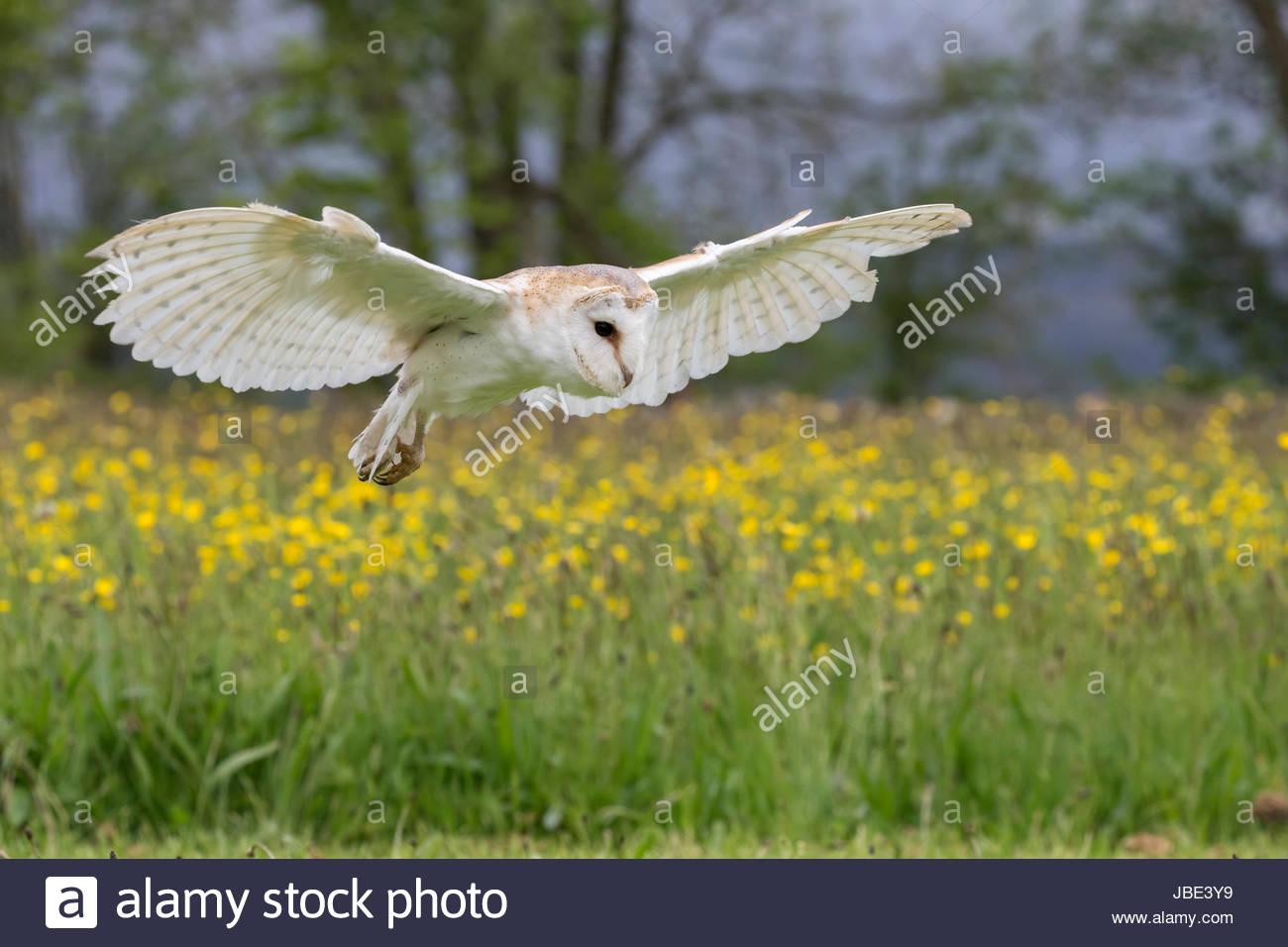 Barn owl (Tyto alba) in flight, captive, Cumbria, UK - Stock Image