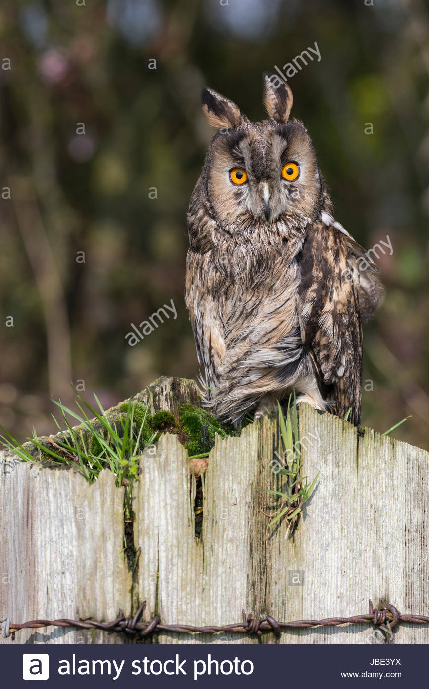 Long-eared owl (Asio otus), captive, UK, 23 March 2017 - Stock Image