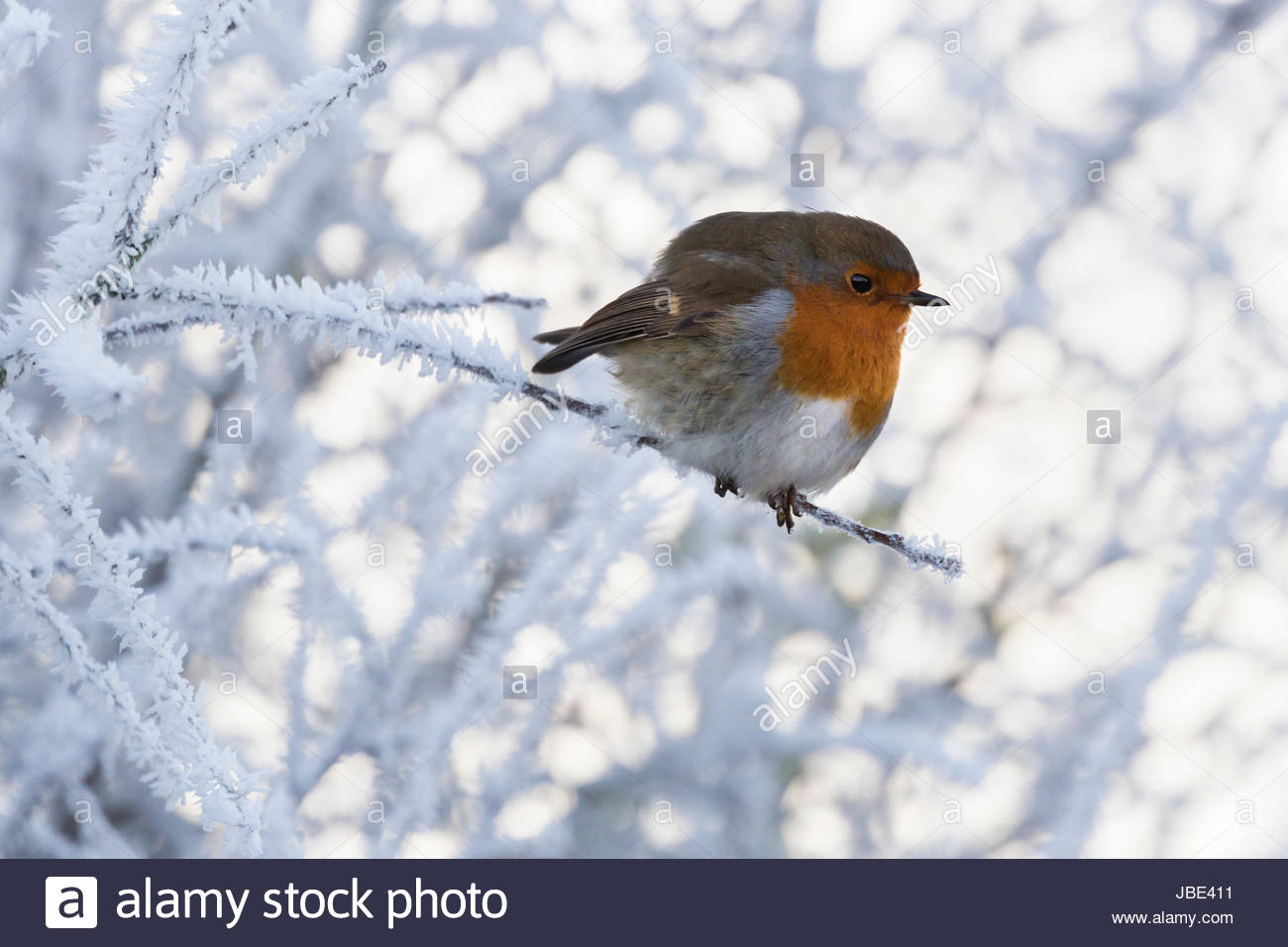 Robin (Erithacus rubecula) in frost, Caerlaverock Wildfowl & Wetland Trust reserve, Dumfries & Galloway, - Stock Image