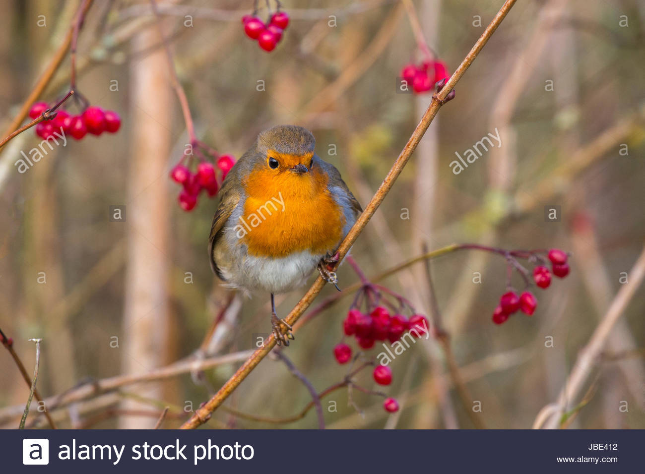 Robin (Erithacus rubecula) with winter berries, Caerlaverock Wildfowl & Wetland Trust reserve, Dumfries & - Stock Image