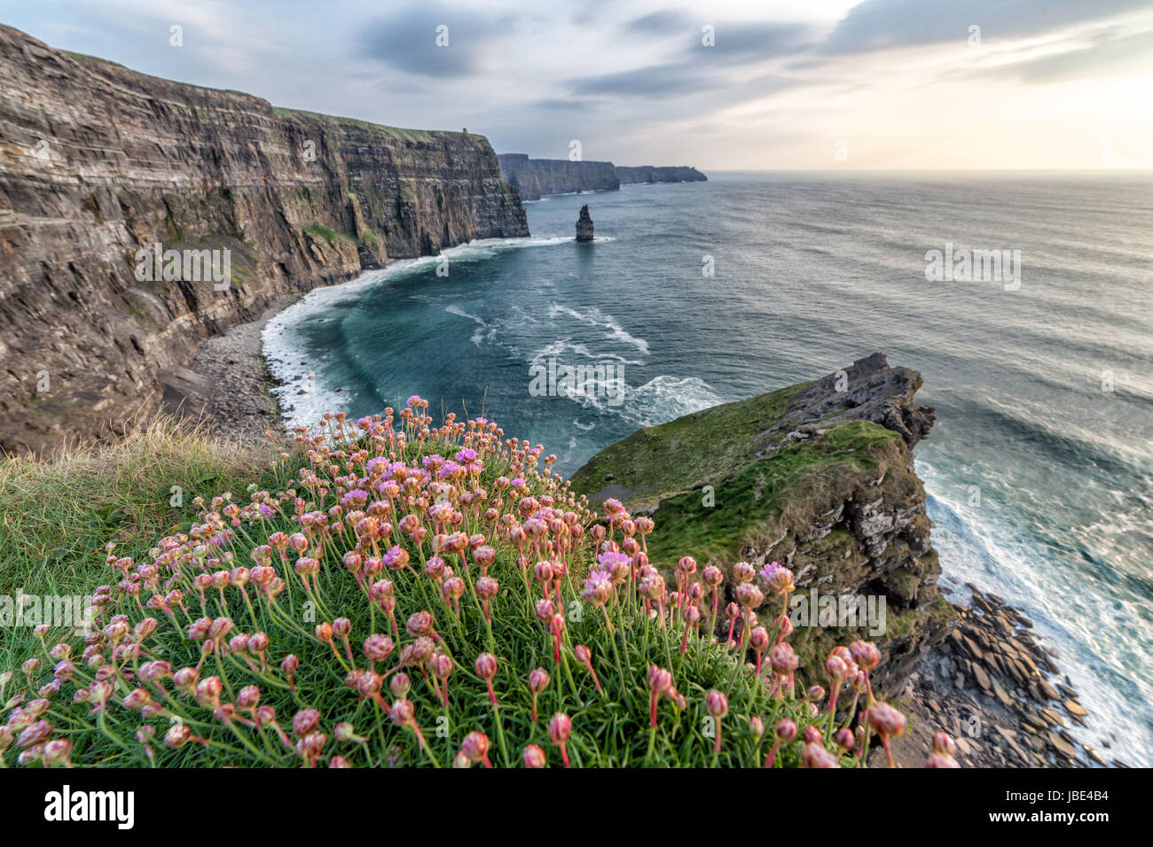 cliffs of moher with some flowers in the foreground - Stock Image