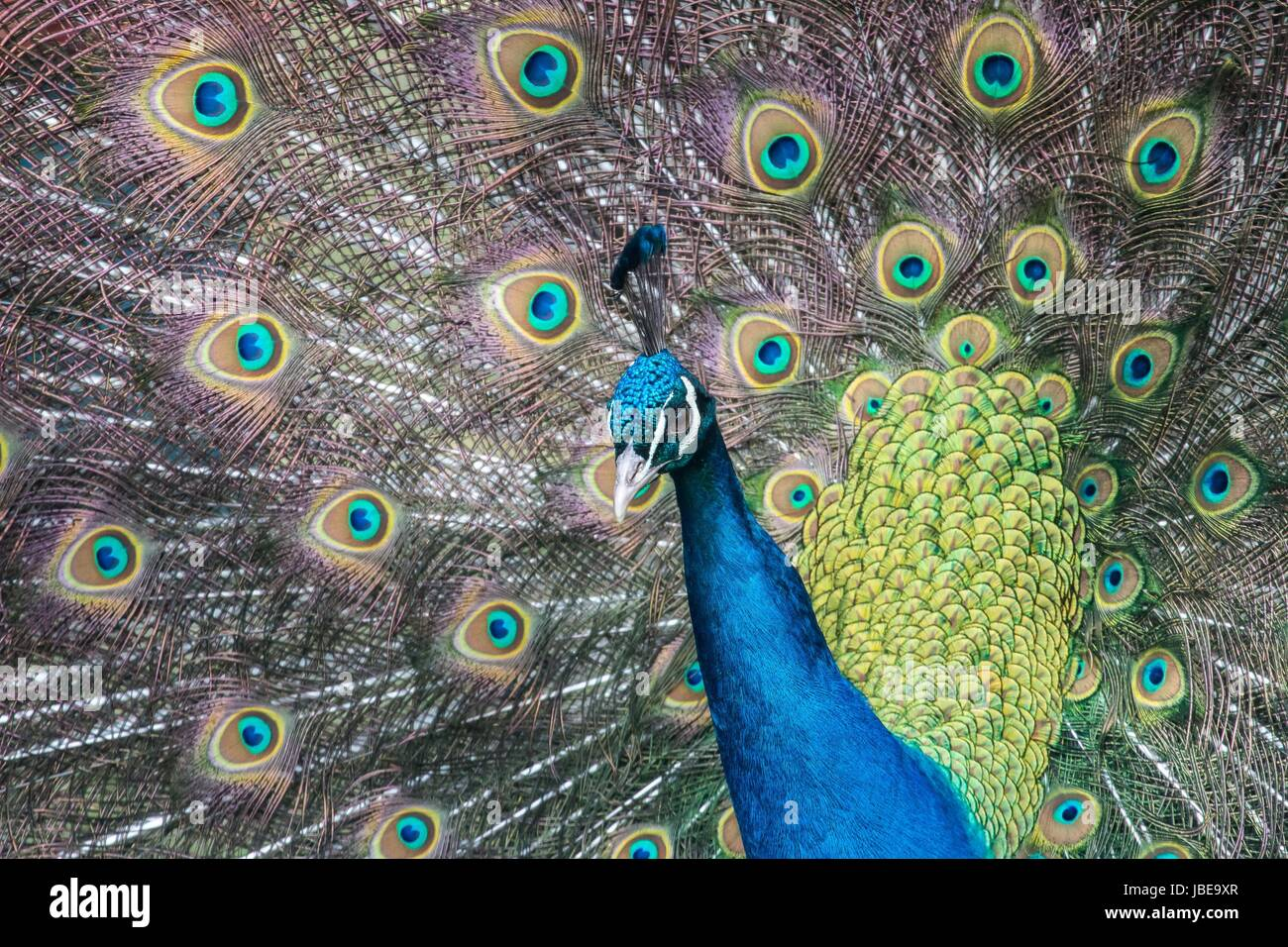 blue peacock - Stock Image