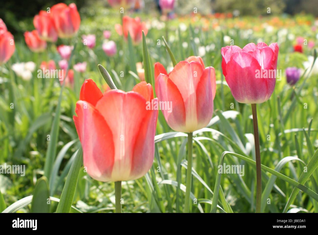 red tulips sea Stock Photo
