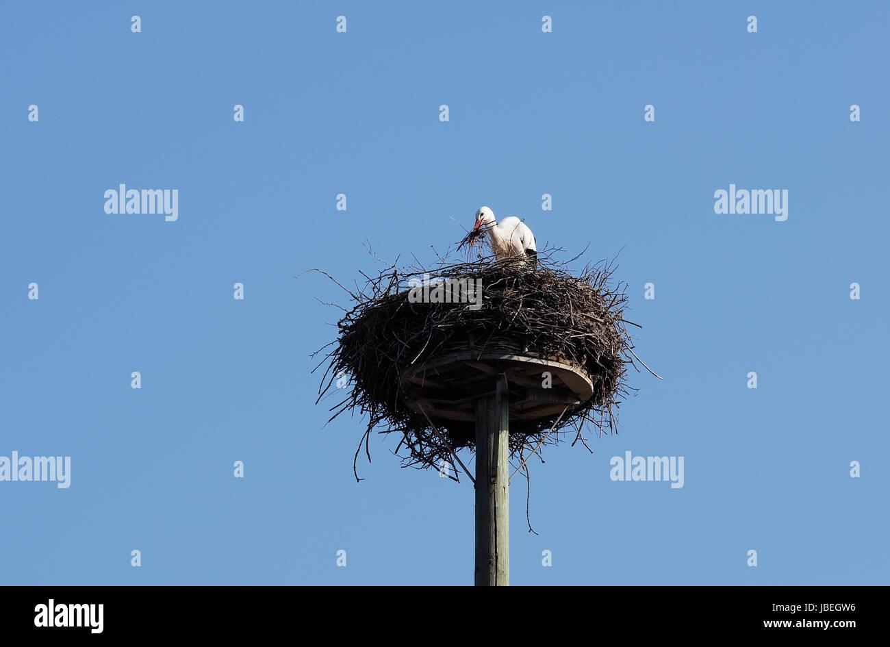 Weißstorch beim Nestbau Stock Photo