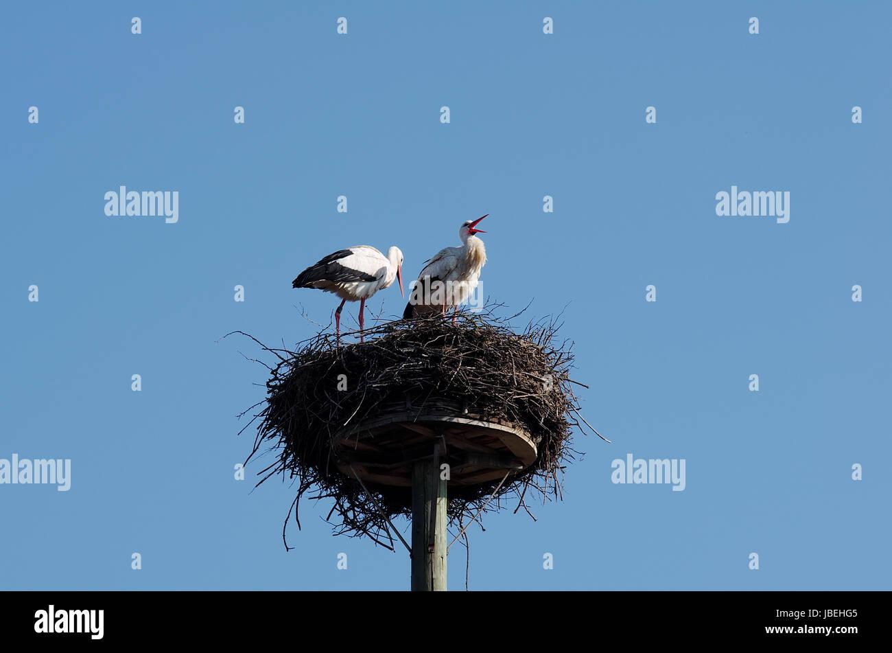 Klappernder Weißstorch mit Partnerin im Nest Stock Photo