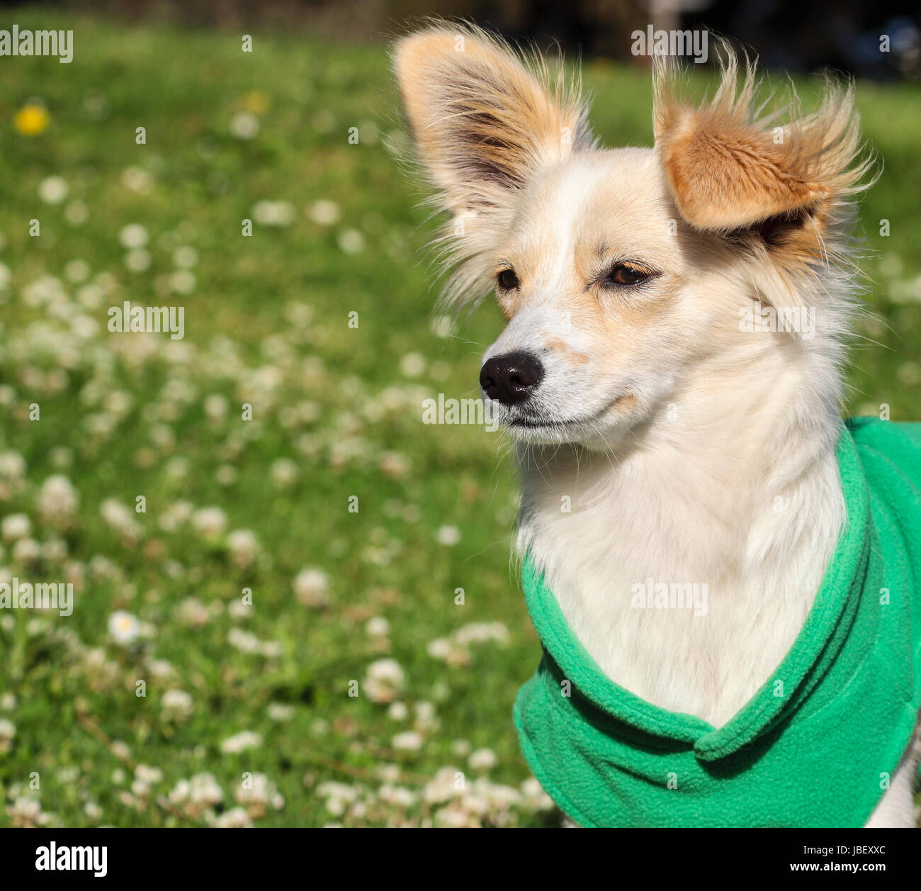 Puppy wearing vest - Stock Image