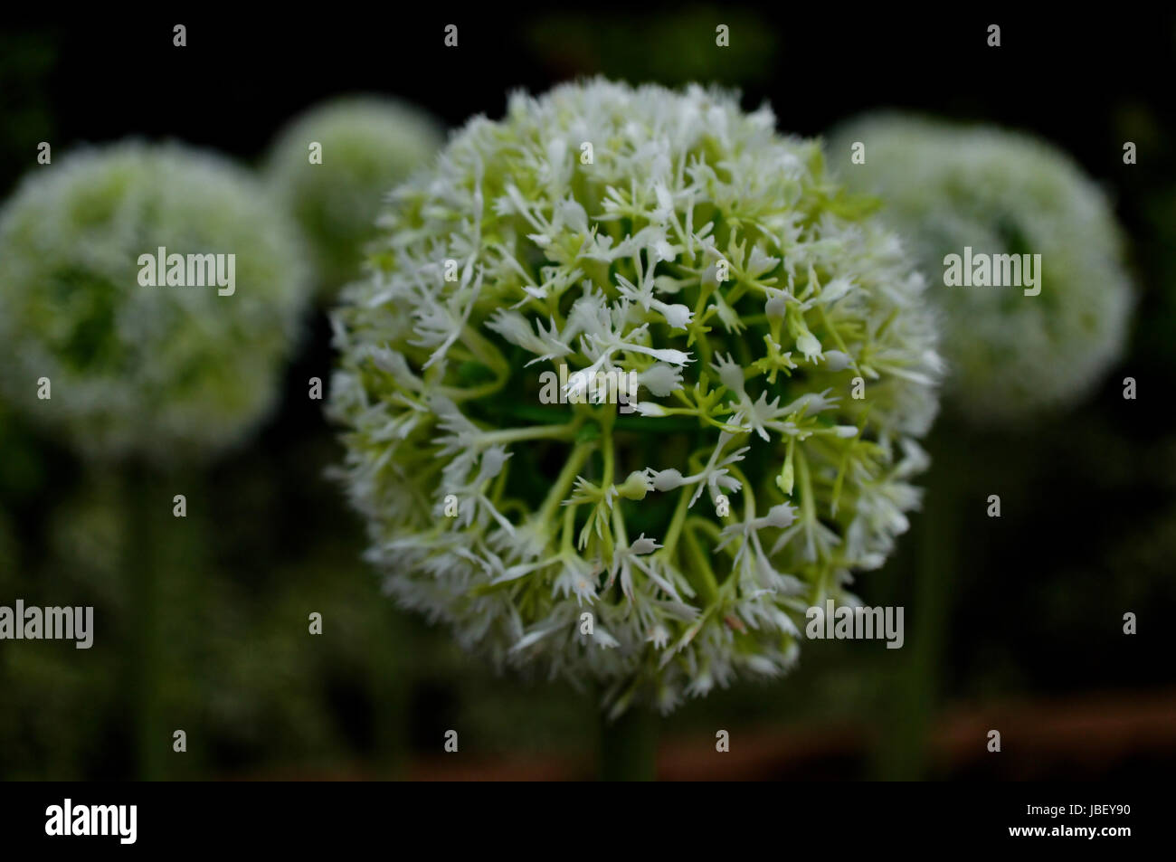 Green And White Flower Ball Close Up Stock Photo 144772908 Alamy