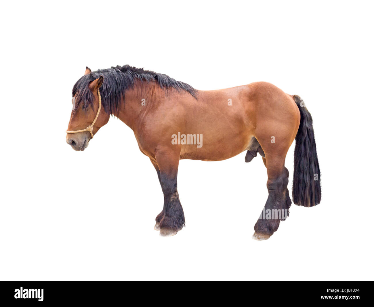 Draft brown stallion horse isolated on white - Stock Image