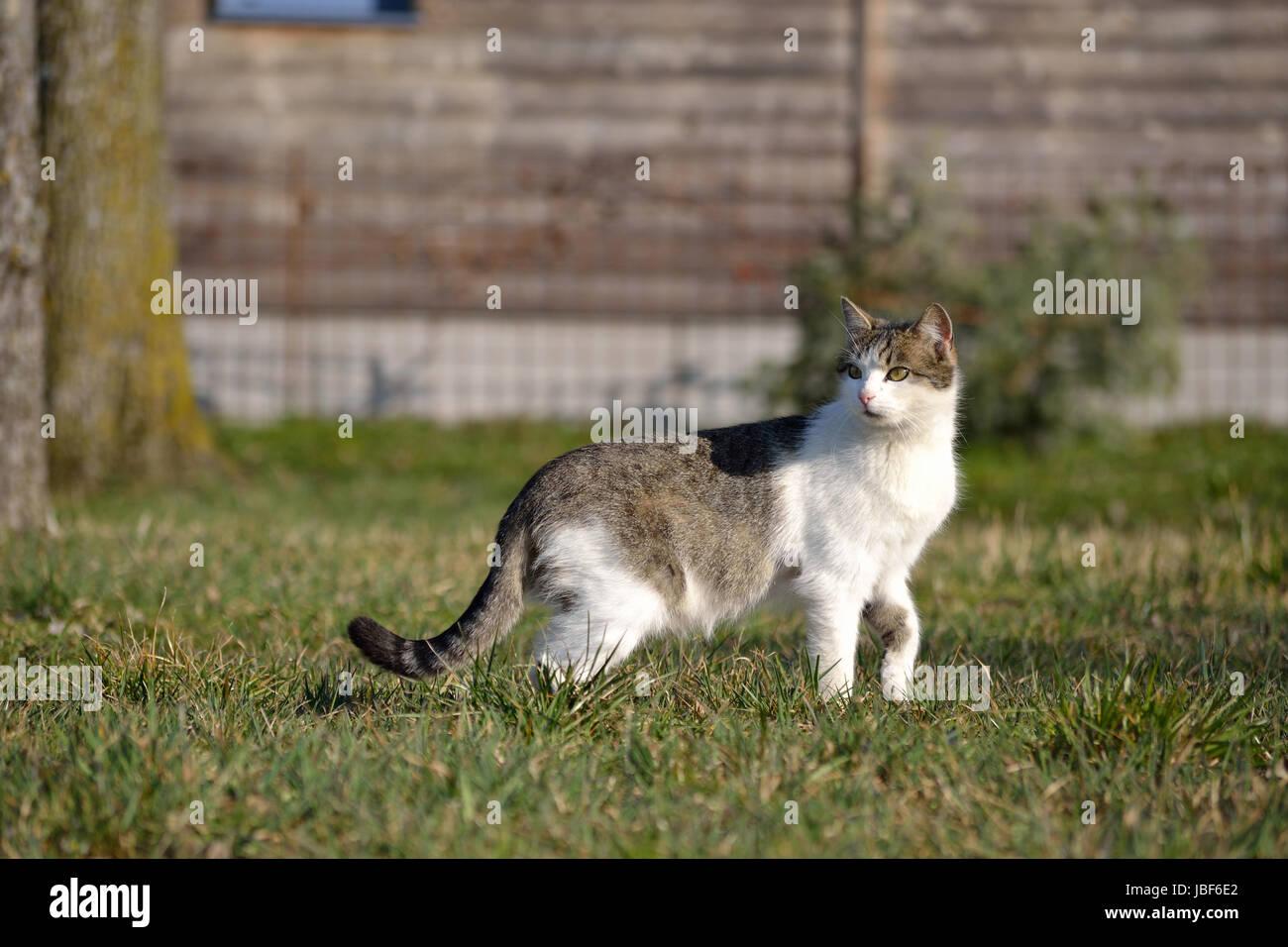 grau-weisse Hauskatze sucht aufmerkam in der Wiese nach Futter Stock Photo