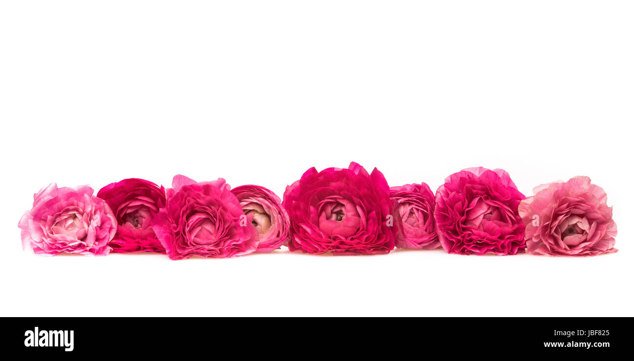 eight pink and magenta blossom of lying in a line in front ob a white background - Stock Image