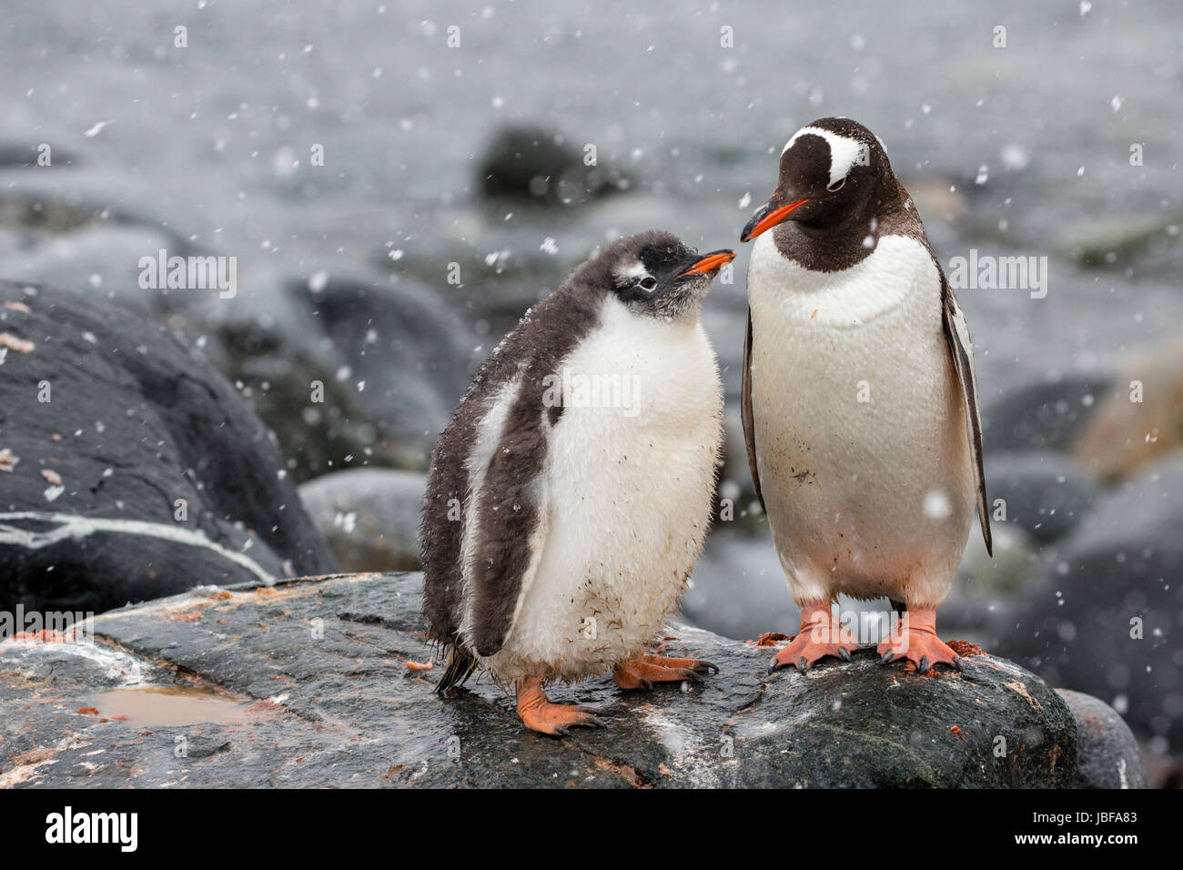 Gentoo penguin and her chick at Dorian Bay, Antarctica Stock Photo