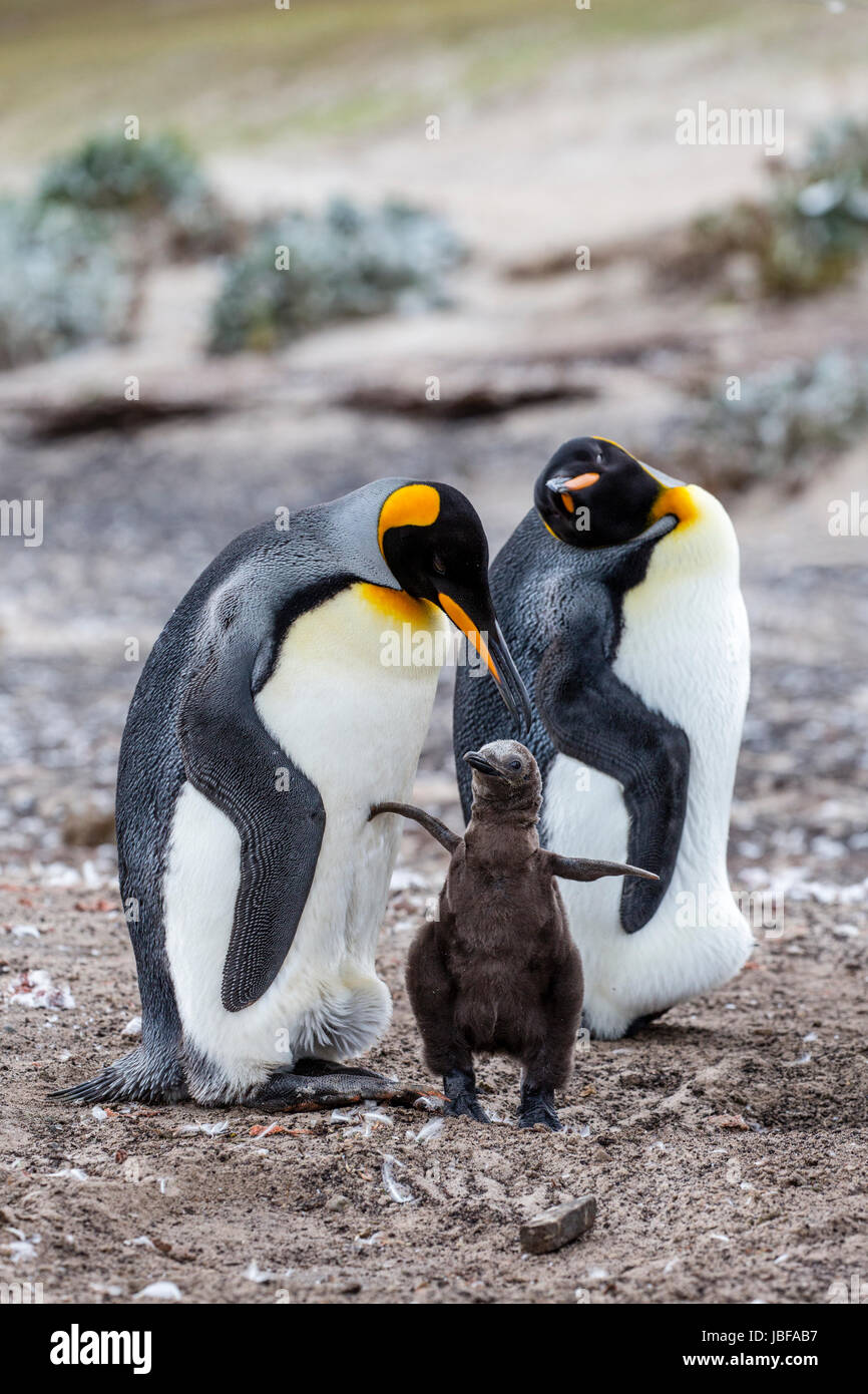 King penguin family on Falkland Islands - Stock Image