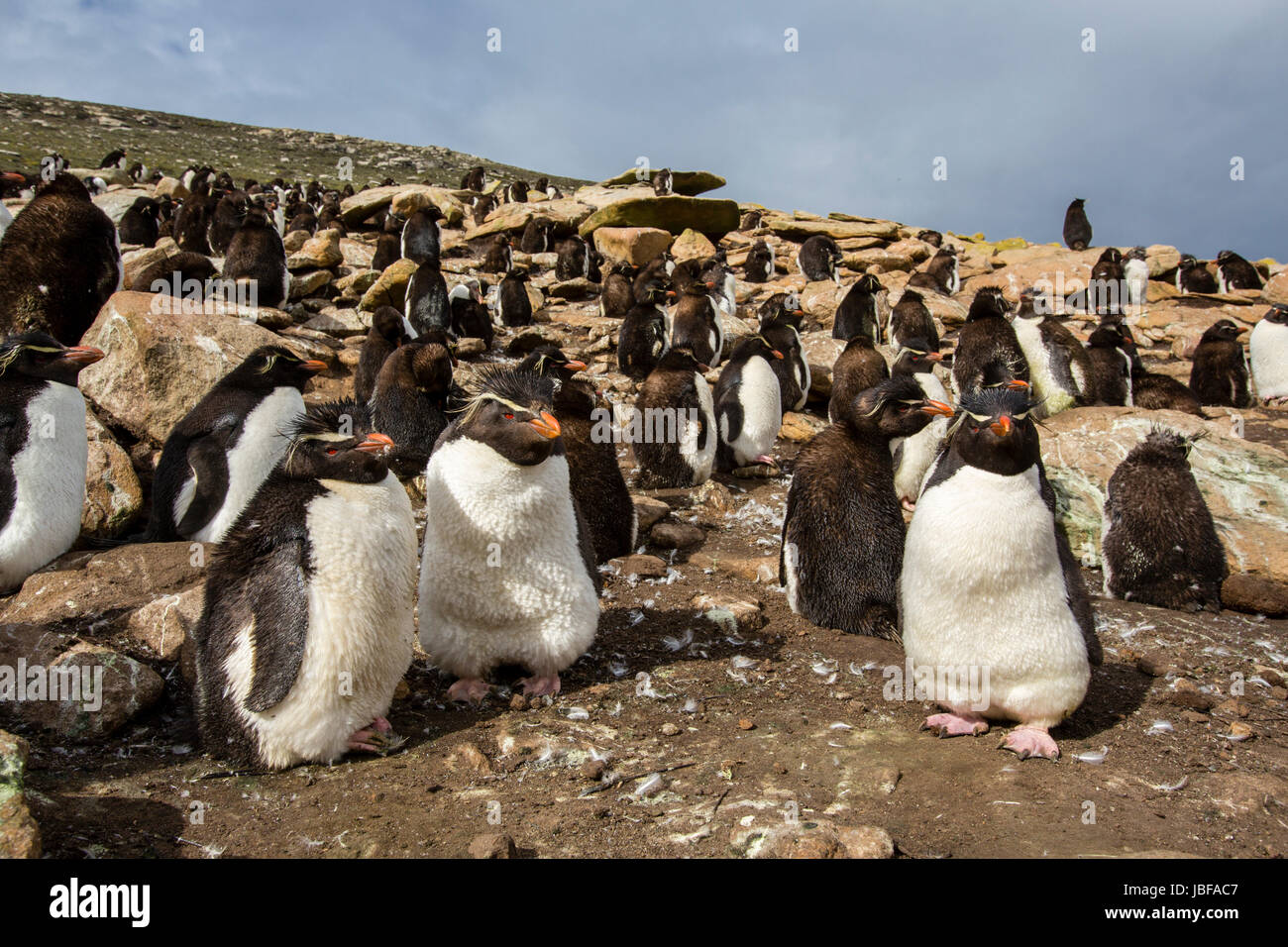 Crested Rockhopper penguins on Saunders Island, Falkland Islands - Stock Image