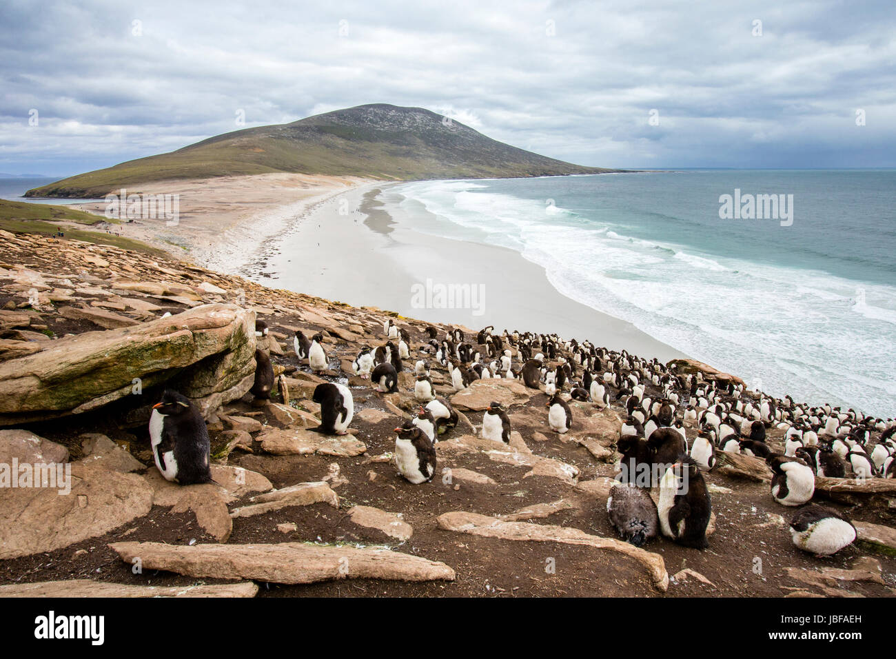 Rockhopper penguins on Saunders Island, Falkland Islands - Stock Image
