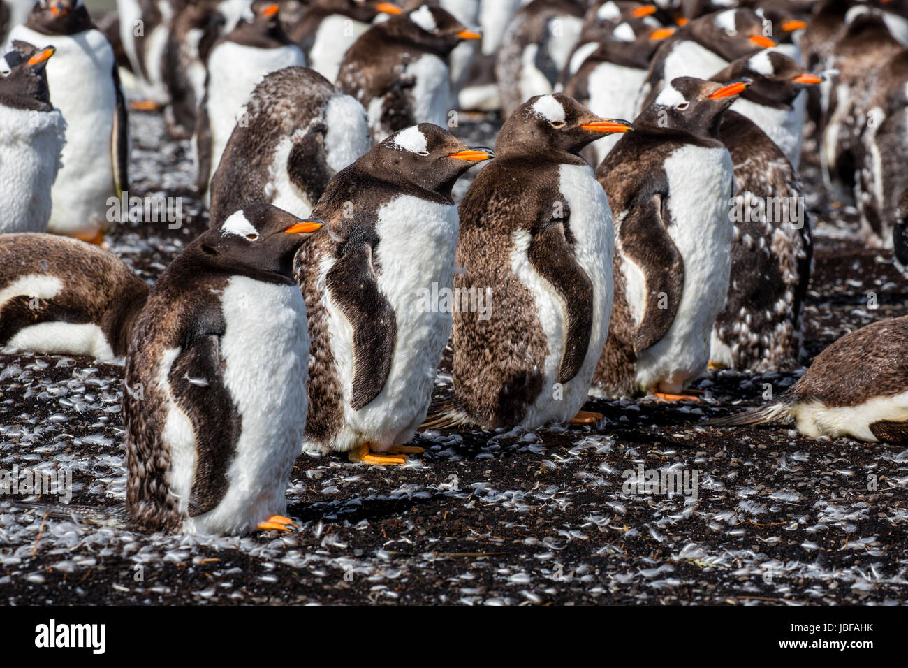 Molting Gentoo penguins at Bluff Cove, Falkland Islands - Stock Image