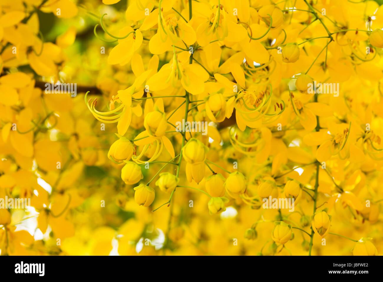 indischer goldregen nahaufnahme der cassia fistula mit gelben blumen stock photo 144793434 alamy