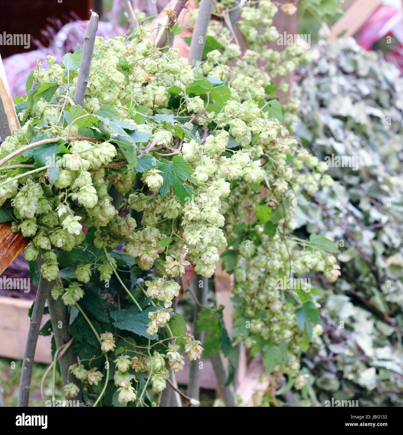 Seeds flowering hops twisted around the wooden fence - Stock Image