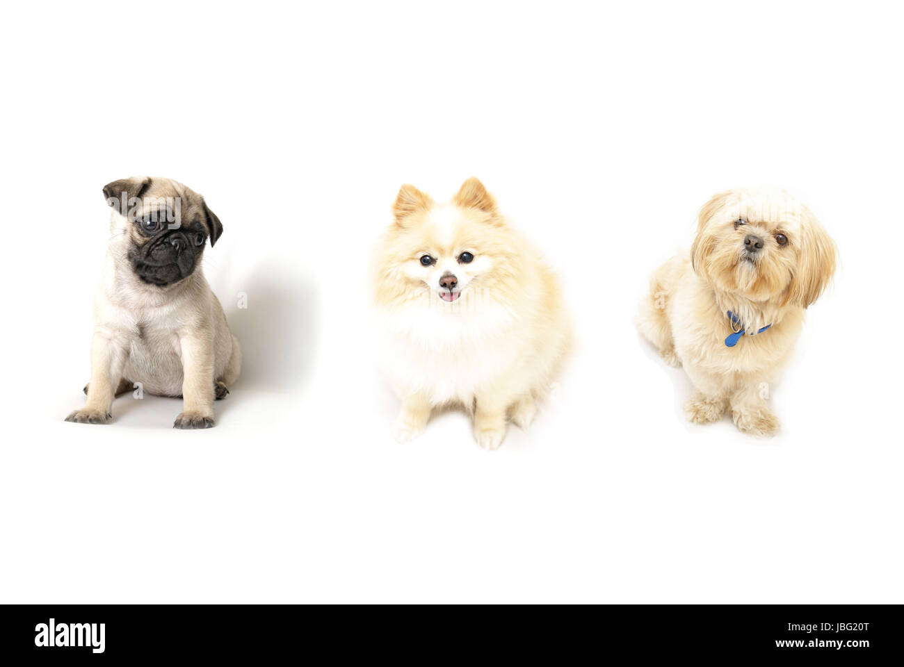 A few obedient dogs in a row isolated on a white background. - Stock Image